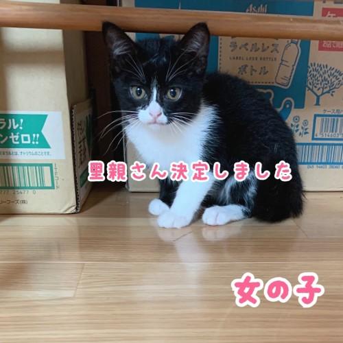2021.8.3森さん里親募集(ハチワレ♀)